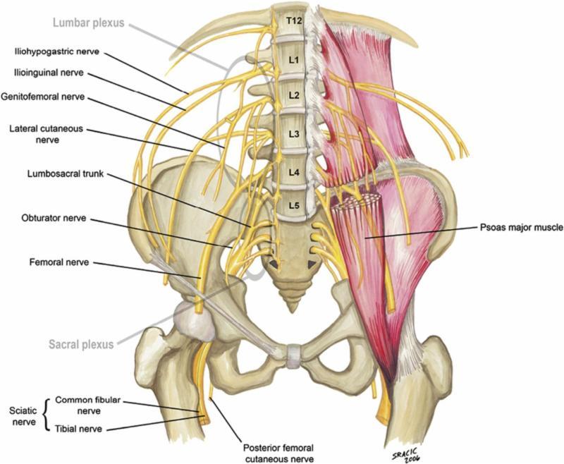 Lumbar spinal nerve roots