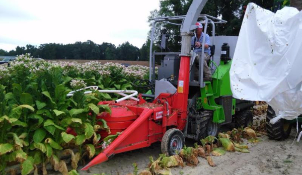 Silage cutting tobacco