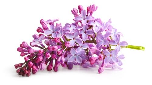 Spring flower_ twig purple lilac. Syringa vulgaris.