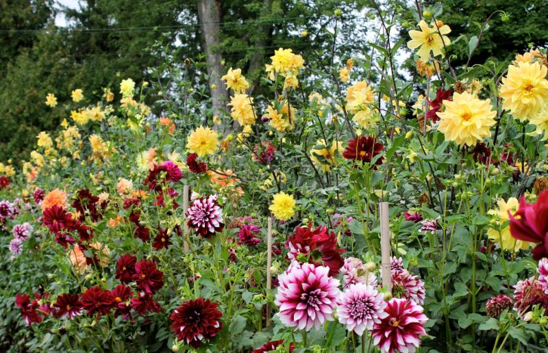 Meadowbrook Farm dahlia