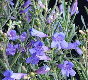 Penstemon heterophyllus Margarita