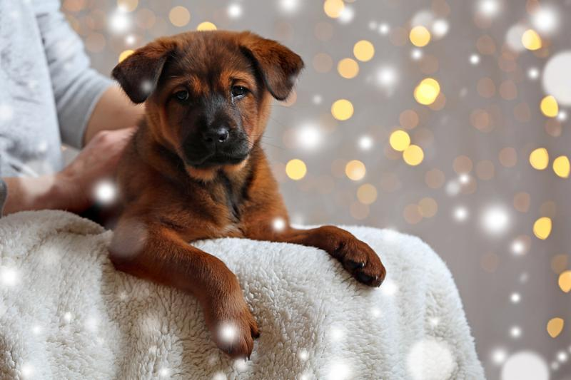 Woman holding cute puppy on knees against blurred Christmas lights background. Snowy effect, Christmas celebration concept.