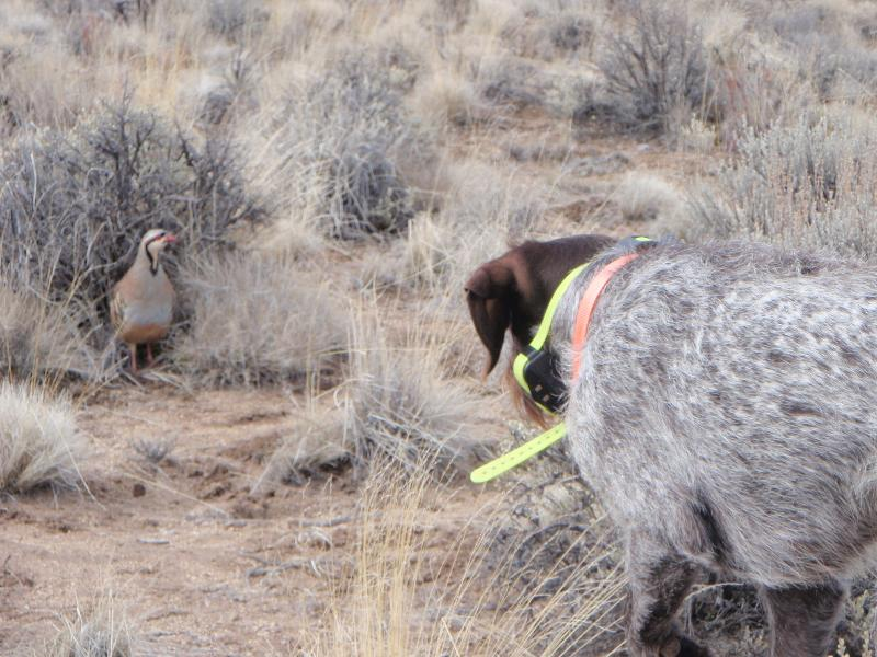 Buddy points chukar