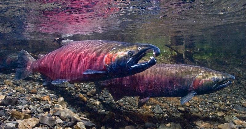 Underwater View of Spawned Out Coho by Tomas Kline