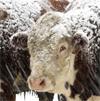 Steer in Snow