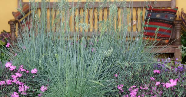 Solutions from loma vista nursery big or small grasses for Low mounding ornamental grasses