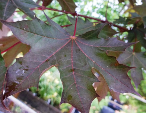 Crimson Sunset Acer