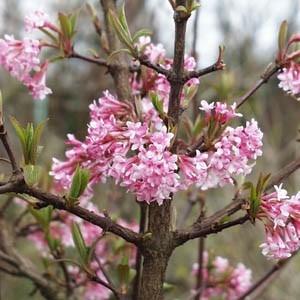 Pink Dawn Viburnum