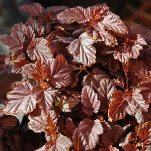 Burgundy Candy Physocarpus
