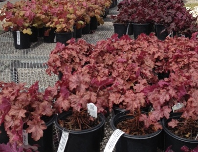 Carnival Series Heuchera
