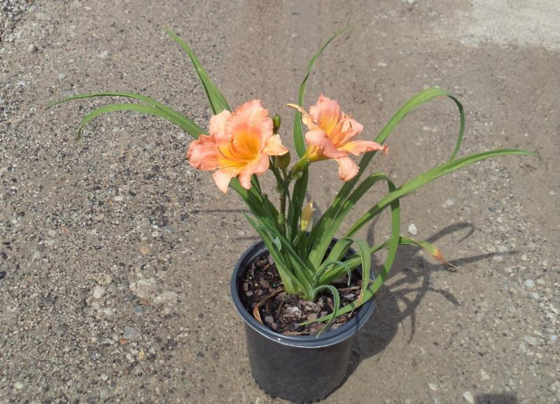 Siloam Little Girl Hemerocallis