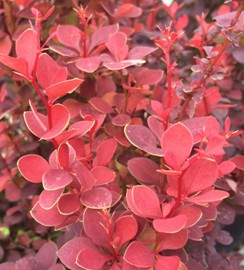Orange Rock Berberis