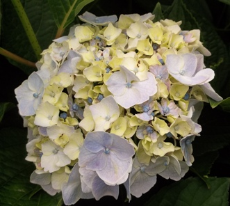 Next Generation Cotton Candy Hydrangea