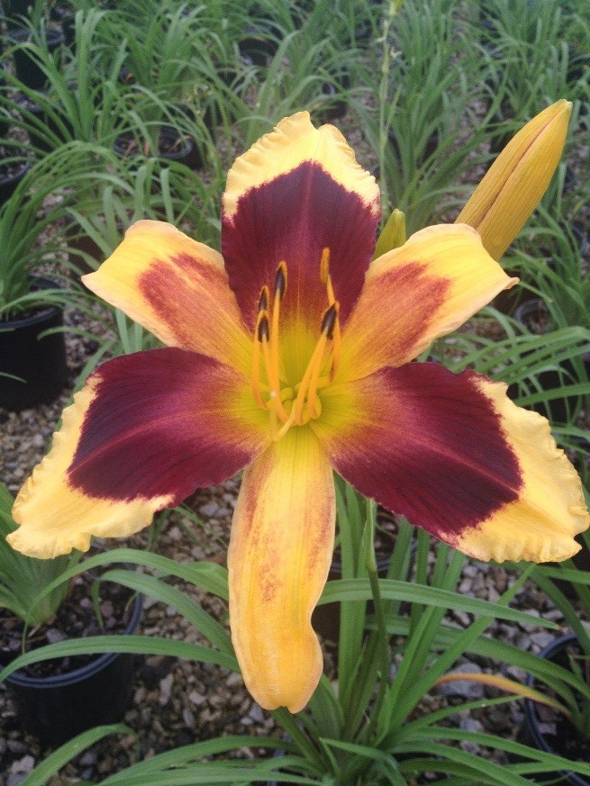 Indian Sky Daylily