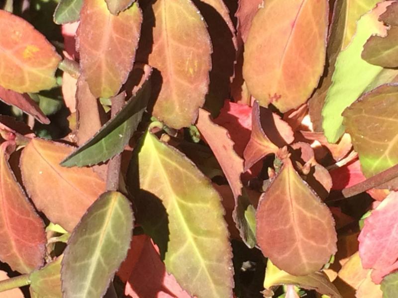Euonymus coloratus