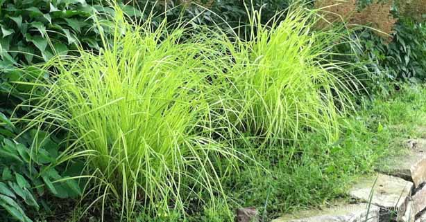 Carex Bowles Golden