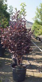 Prunus virginiana Schubert #15