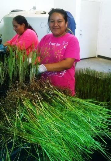 grasses in propagation