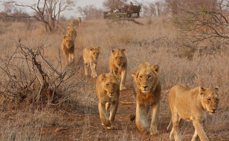 Singita Group of lions photo by Ryan Hilton