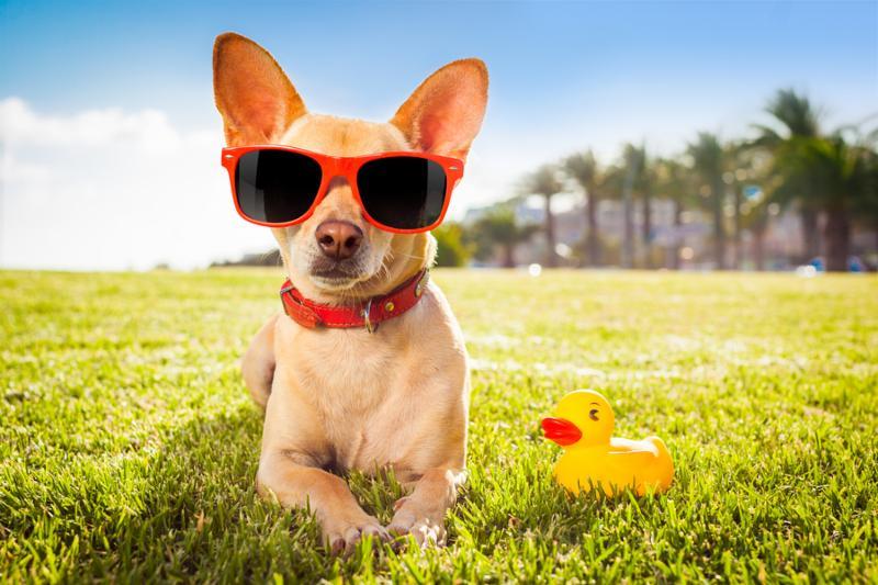 chihuahua dog relaxing and resting lying on grass or meadow at city park on summer vacation holidays