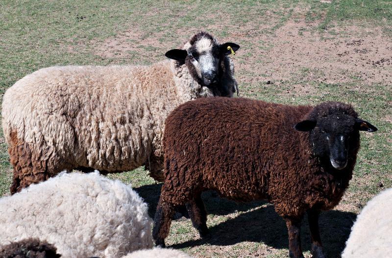 farm sheep 1