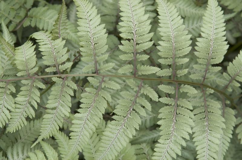 Silvery leaves of the Japanese Painted fern Athyrium niponicum