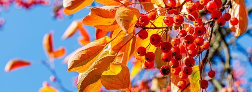 Fall Korean Mountain Ash