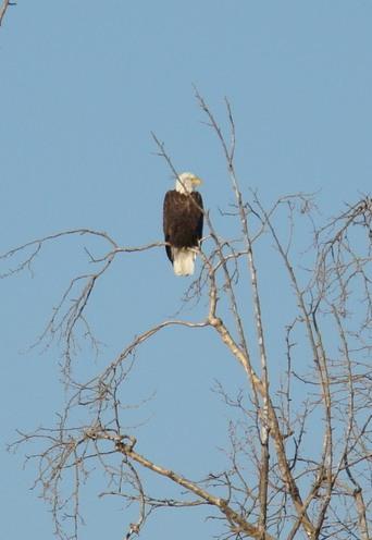 Bald Eagle at River Center