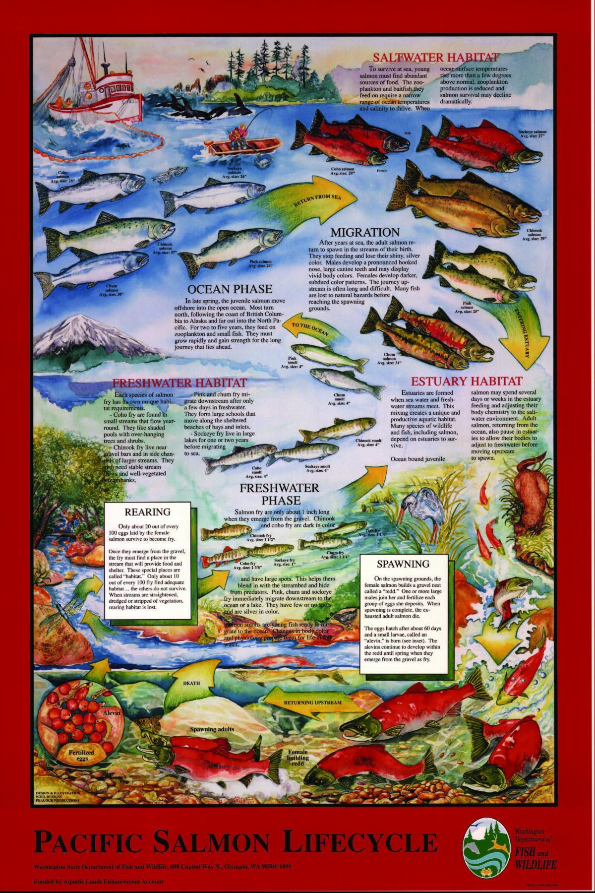 salmon cycle 8x12 _1_.jpg