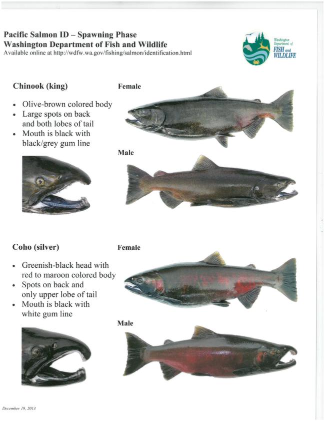 Salmon ID.png