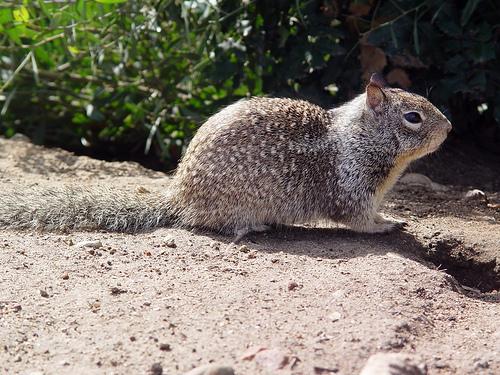 ground squirrel.jpg