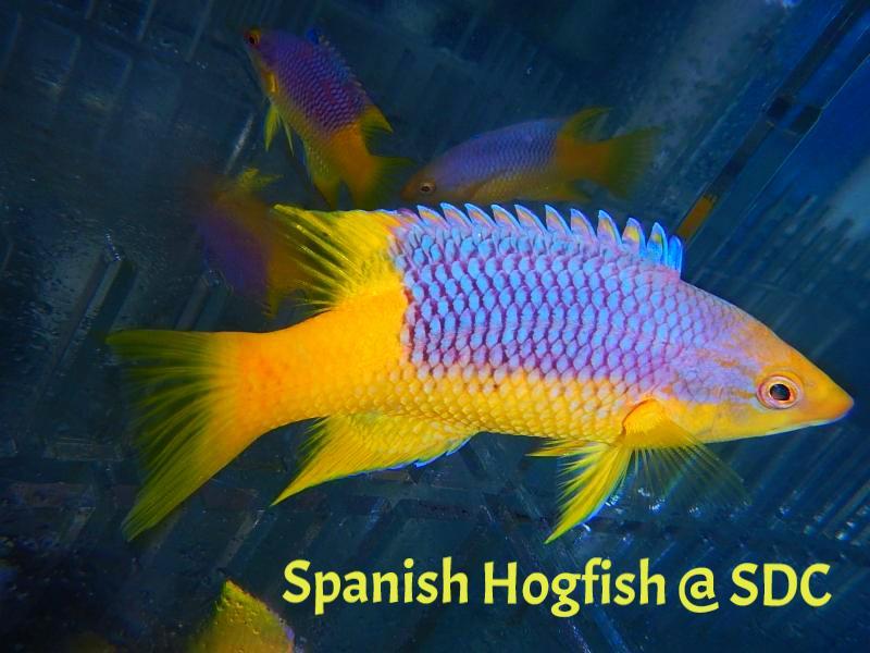 spanish hog