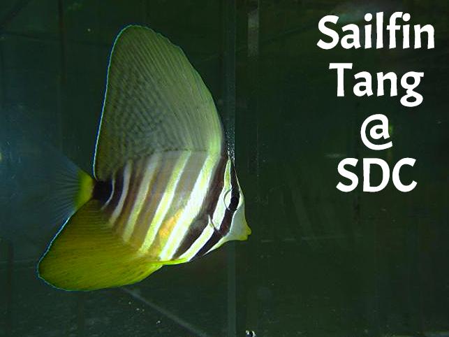 tang sailfin