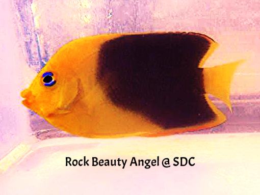 rock beauty angel