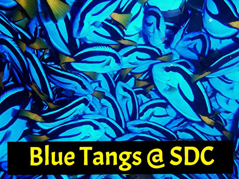 blue tang hippo bluetang