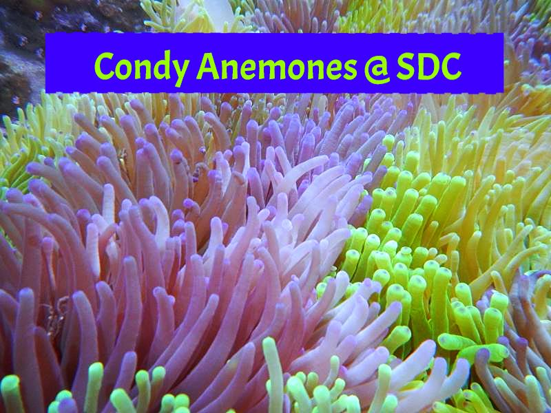 condy anemone