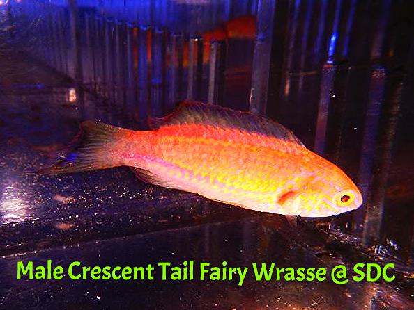 Crescent Tail Fairy Wrasse Cirrhilabrus lunatus