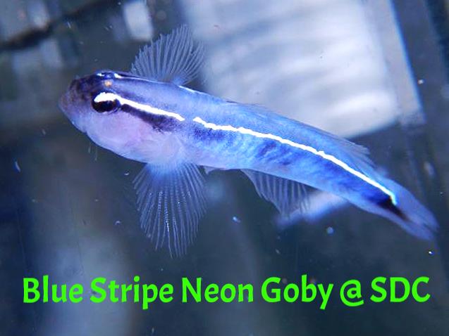 bluestripe neon goby