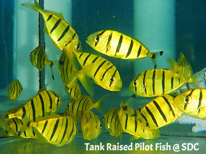 pilotfish wild