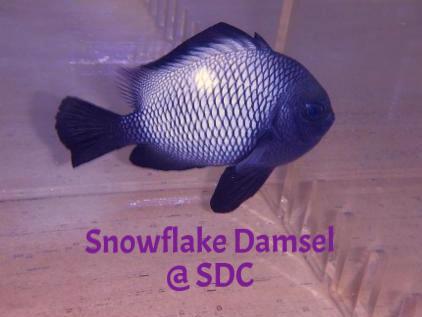 snowflake damsel