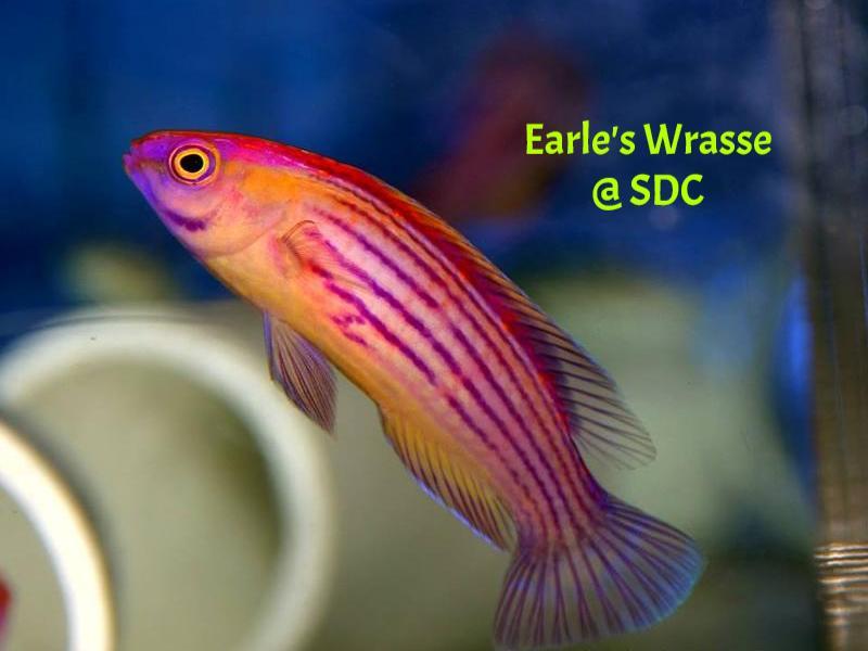 060613 earles wrasse