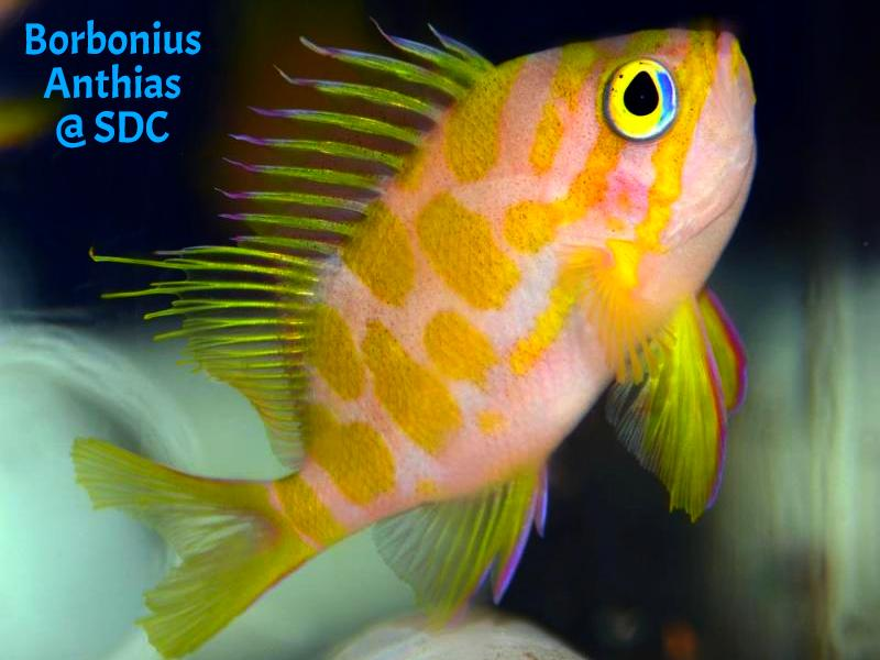 Borbonius Anthias