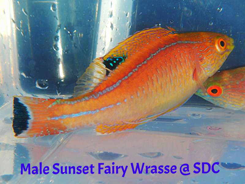 sunset male wrasse