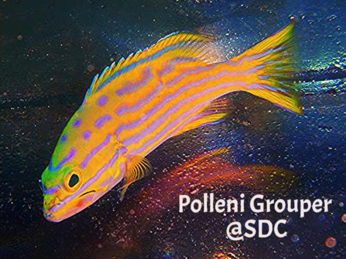polleni grouper