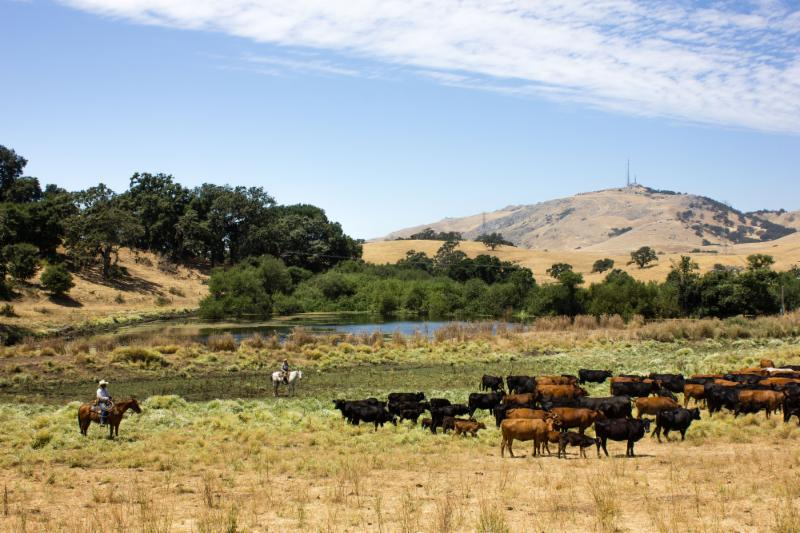Photo of ranch with cattle in teh foreground and a watering hole in the background