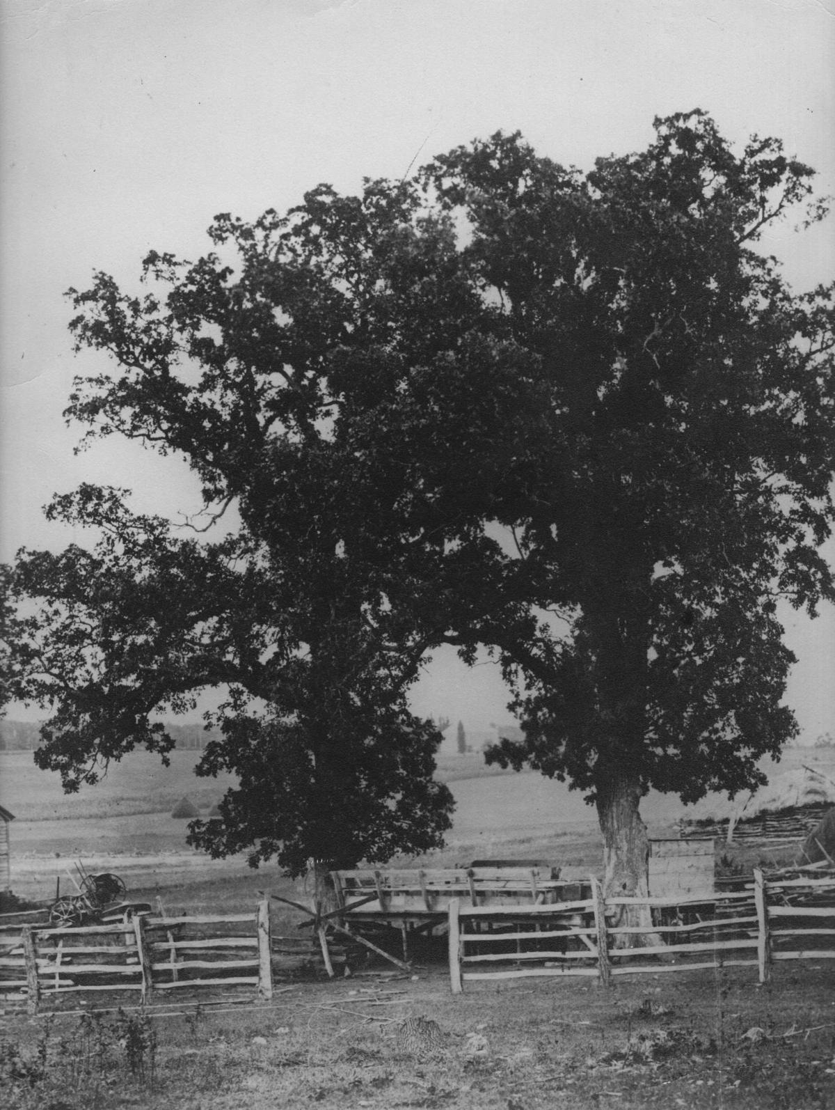 two oak trees in a field