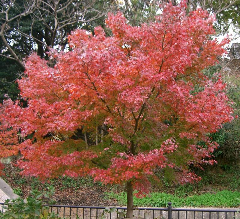 Japanese Maple Kenpei Wikimedia