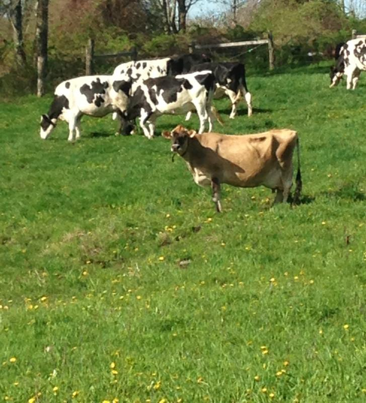 Cows on Spring Pastures 2017