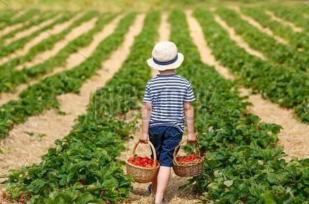 Funny little kid picking and eating strawberries on organic bio berry farm in summer on warm sunny day. Harvest fields in Germany. Healthy food for children.