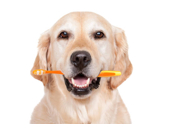 golden with toothbrush.jpg